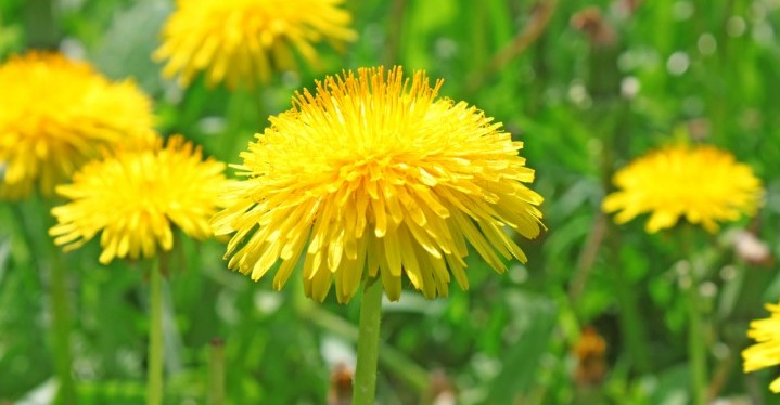 Dandelions for detoxification