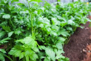 parsley for vibrant skin