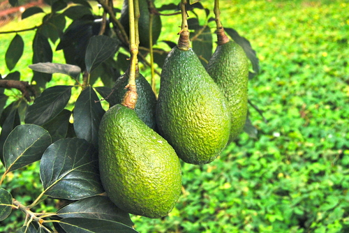 avocados are one of the healthiest foods on the planet